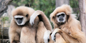 Gibbon Call Sounds